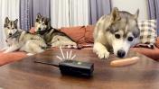 СКРЫТАЯ КАМЕРА и РАЦИЯ / собаки одни дома / реакция хаски на рацию