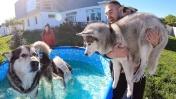 НОВЫЙ БАССЕЙН ДЛЯ ХАСКИ / собаки прыгают в каркасный бассейн