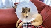 ХАСКИ отходит от НАРКОЗА / спасение собаки