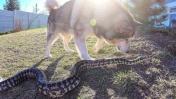 СОБАКА НАПАЛА на БОЛЬШУЮ ЗМЕЮ / питон против собаки