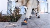 СОБАКА СГРЫЗЛА ТЕРМОМЕТР / прикол над хаски - обувь для собаки