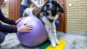 СПАСЕНИЕ ПАРАЛИЗОВАННОЙ СОБАКИ! московская сторожевая собака в ветклинике Доверие