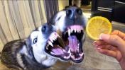 РЕАКЦИЯ ХАСКИ НА ЛИМОН / My Husky Reacts to Trying Lime