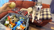ВЫГОНЯЮ ХАСКИ ИЗ ДОМА! В чемодан собираю вещи собаки