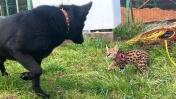 СЕРВАЛ ЗНАКОМИТСЯ С СОБАКАМИ / Сравниваем размеры бобкэта и рысей