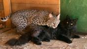 ЗАЧЕМ Я ПРИУЧАЮ БОБКЭТА РУФИ К ВОЛЬЕРУ / Содержание диких кошек дома