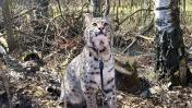 КОТ УСПОКАИВАЕТ РЫСЬ / Приучаю Руфи к улице / Пумыч притворился котёнком