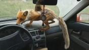 Наглая лиса залезла в машину пообедать