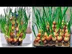 2 простых способа выращивания зеленого лука на балконе или подоконнике