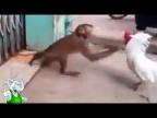 Петух в Деле / Петух против Ястреба, Собаки, Обезьяны, Свиньи