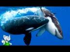 Косатка в Деле / Косатка против Акулы, Птиц, Китов