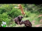 Львы против Буйволов / Сумасшедшие Битвы Животных