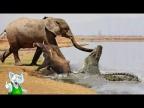 Крокодил в Деле / Крокодил против Льва, Слона, Антилопы