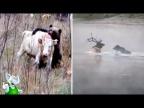 Медведь в Деле / Медведь против Волка, Кабана, Тигра, Пумы