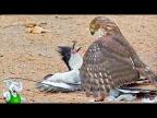 10 Сумасшедших Битв Животных Снятых На Камеру / 2 часть