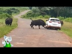 Буйвол В Деле / Буйвол против Слона, Льва, Носорога, Тигра