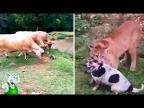 10 Сумасшедших Битв Животных Снятых На Камеру / 1 часть