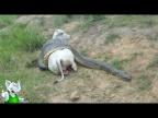 Анаконда в Деле / Анаконда против Крокодила, Коровы, Собаки