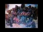 вот такой виноград можно вырастить в Подмосковье